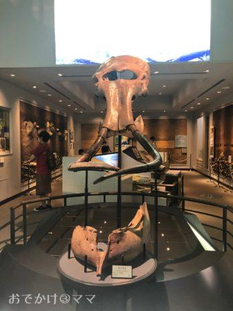 相模原市立博物館のマンモスの骨