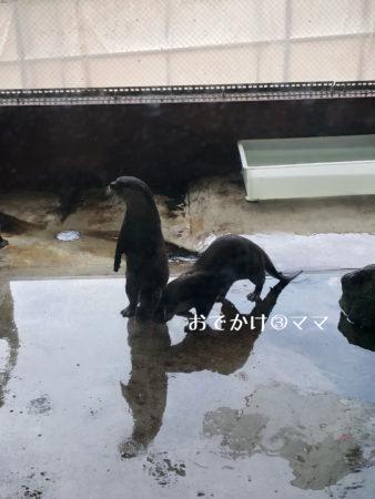 箱根園水族館のかわうそ